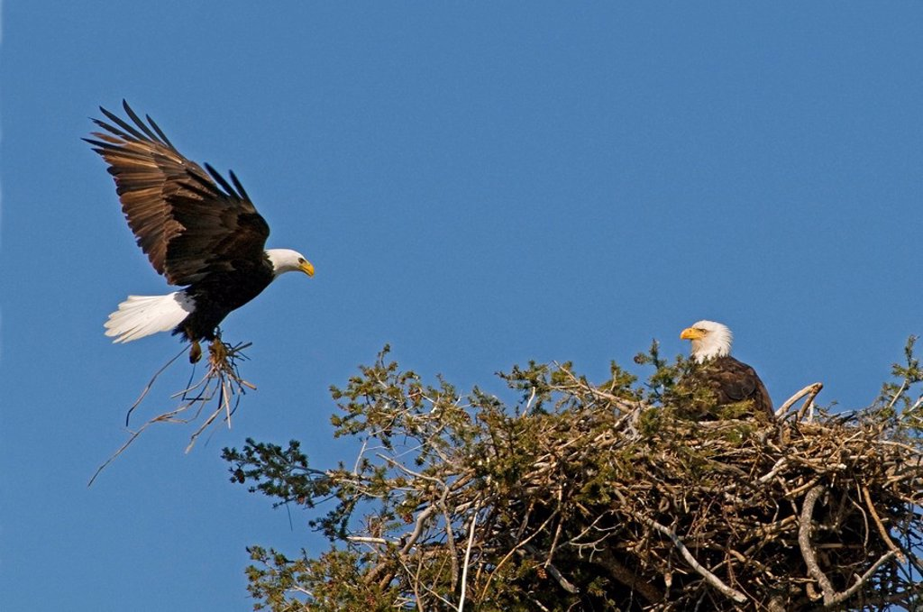 Stock Photo: 1990-18766 A Bald Eagle Haliaeetus leucocephalus brings grasses to his mate for their nest, Kamloops, British Columbia, Canada