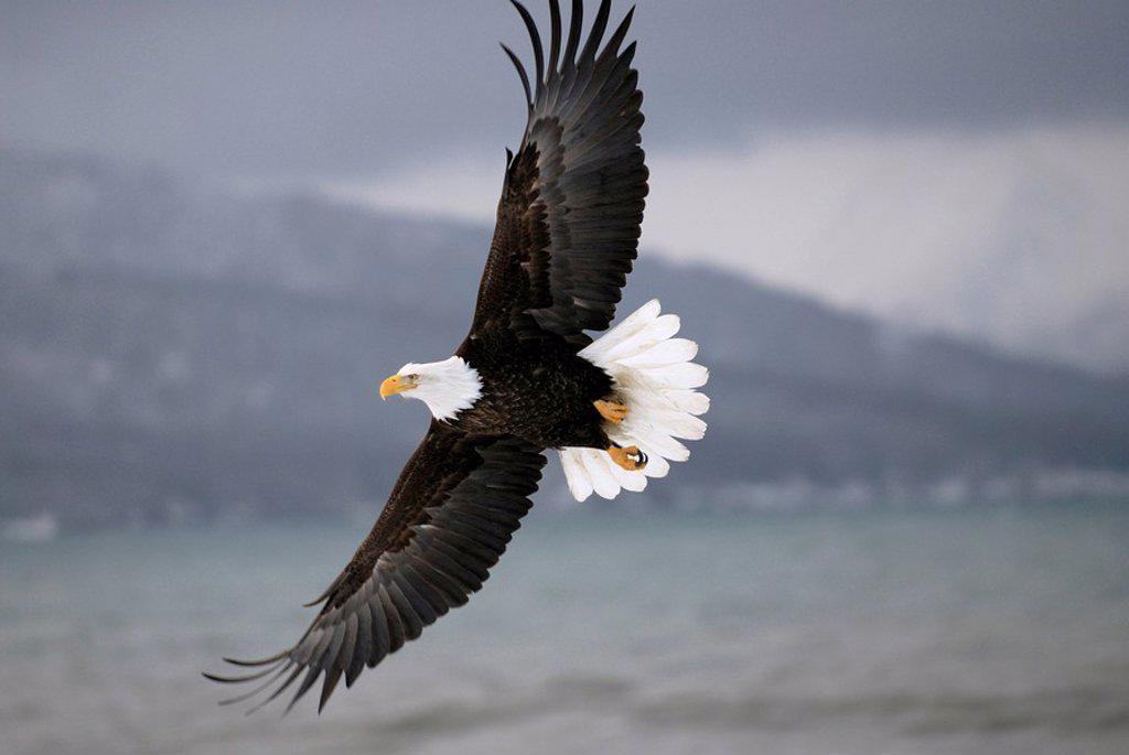 Stock Photo: 1990-18880 Mature Bald Eagle Haliaeetus leucocephalus in flight, Kachemak Bay, Cook Inlet, Homer, Alaska, USA