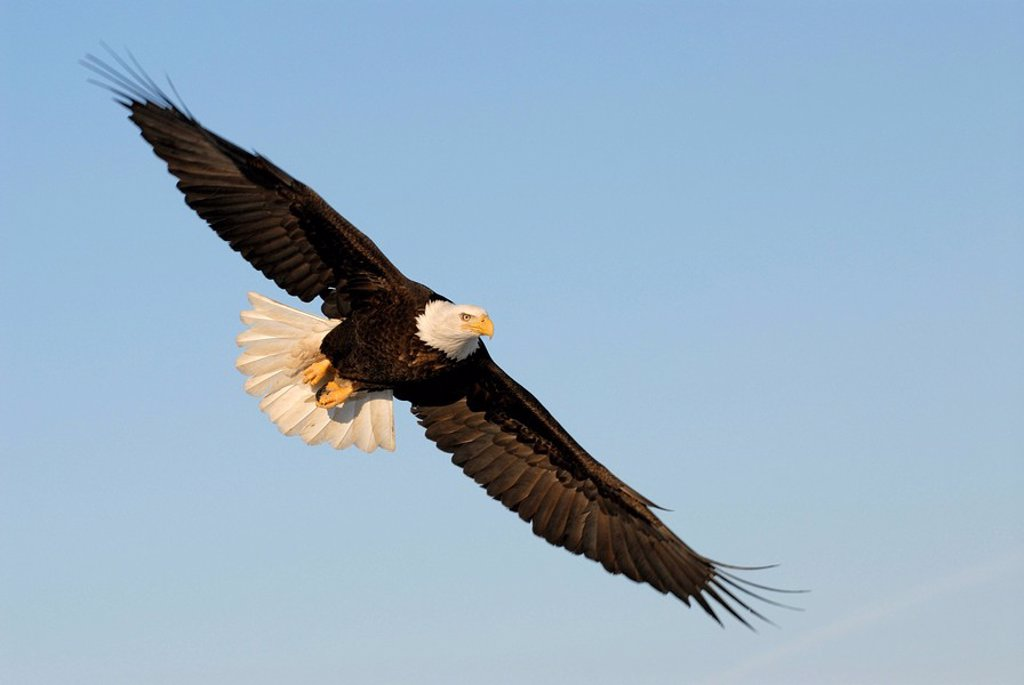 Bald Eagle Haliaeetus leucocephalus in flight, Homer, Alaska, USA : Stock Photo