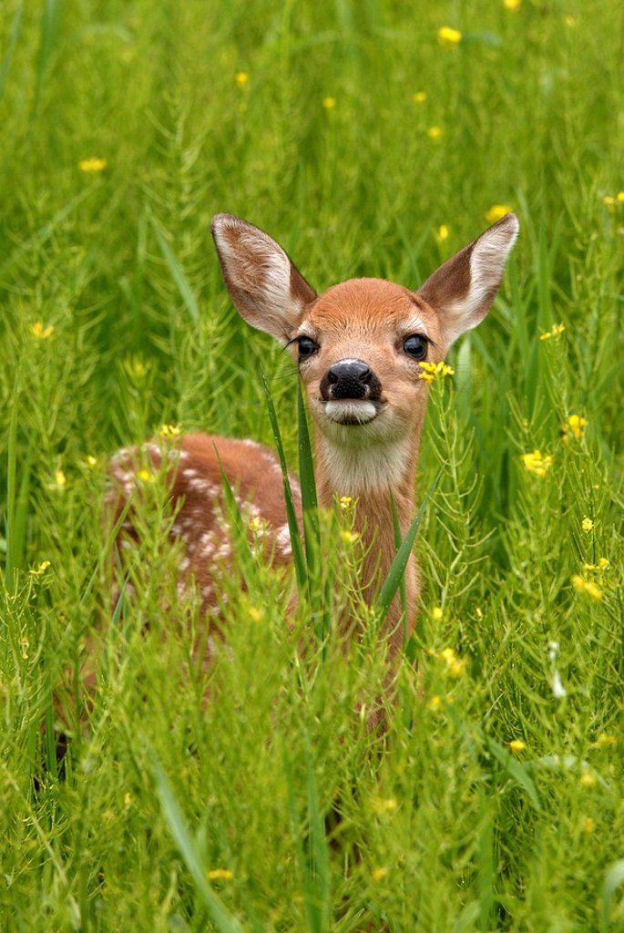 Whitetail deer Odocoileus virginianus fawn standing in flowering field of wild mustard plant, Minnesota, USA : Stock Photo
