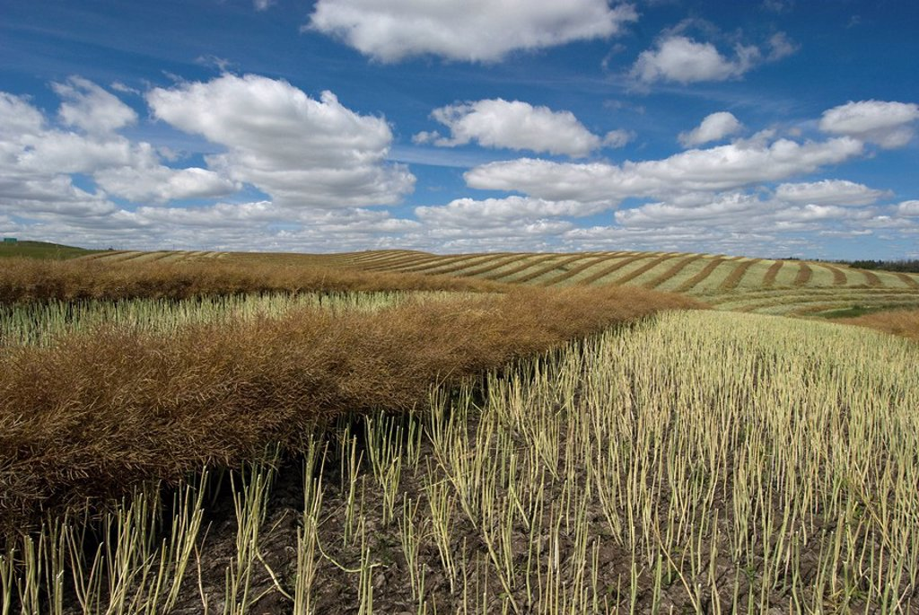 Canola or rapeseed crop drying in rows for harvest. Near Kitscoty, Alberta, Canada. : Stock Photo