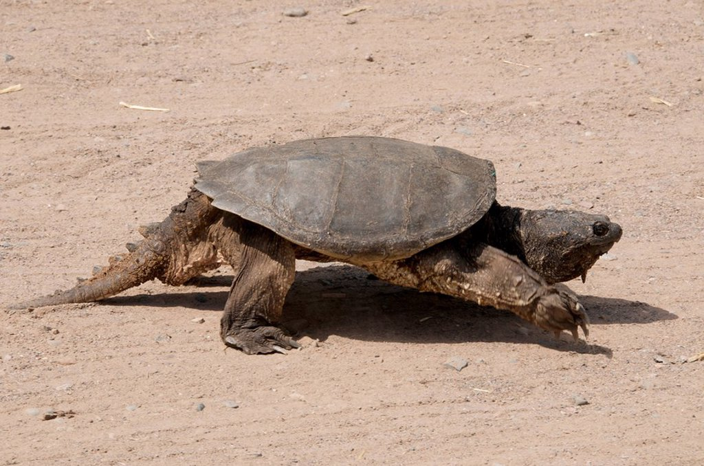 Walking Alligator Snapping Turtle Macrochelys temminckii is one of the largest freshwater turtles in the world. Sandstone, Minnesota, North America, U.S.A. : Stock Photo