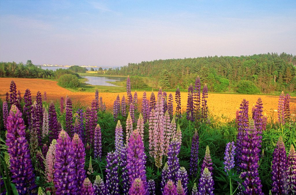 Lupines, North Rustico, Prince Edward Island, Canada : Stock Photo