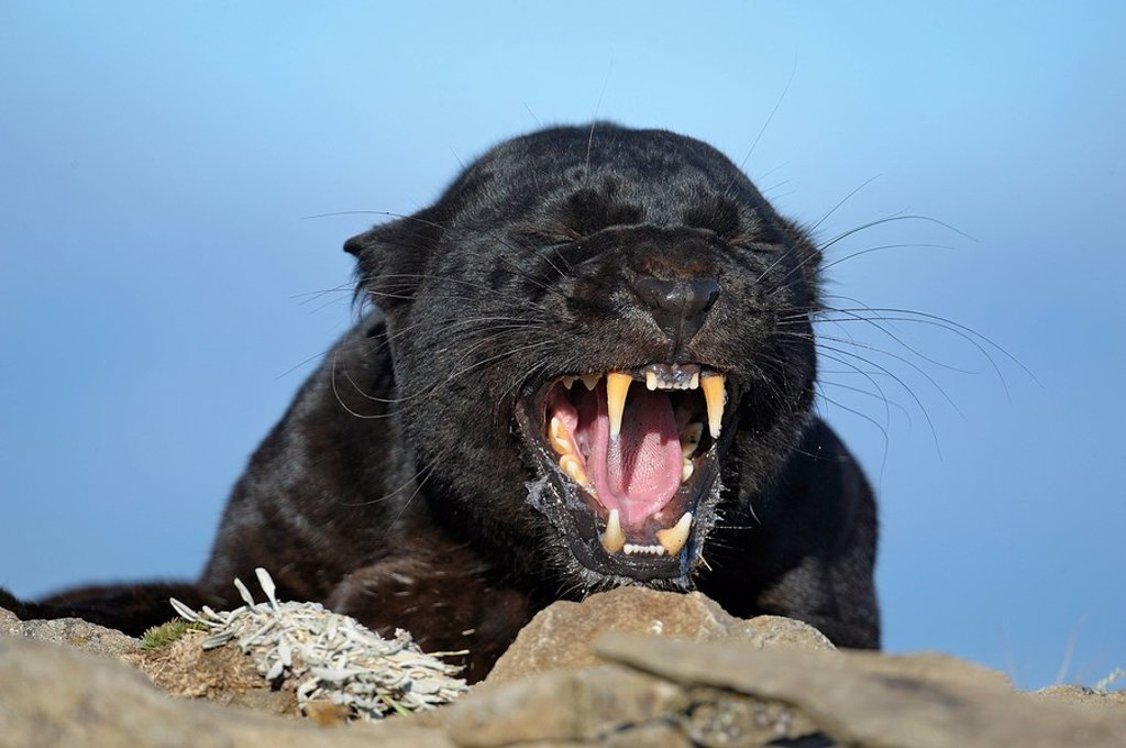 Melanistic black leopard Panthera pardus_ captive : Stock Photo