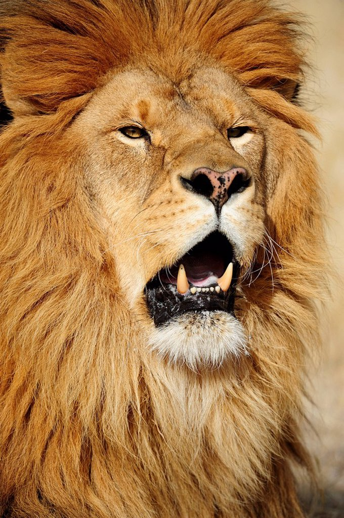 Stock Photo: 1990-19924 Barbary lion Panthera leo, extinct in wild_ captive