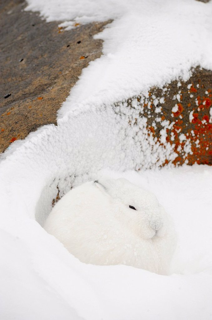 Arctic Hare Lepus arcticus Taking refuge from wind in lee of boulder : Stock Photo