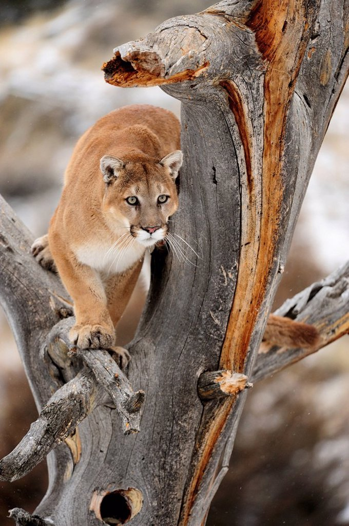 Cougar Felis concolor_ captive in winter habitat : Stock Photo
