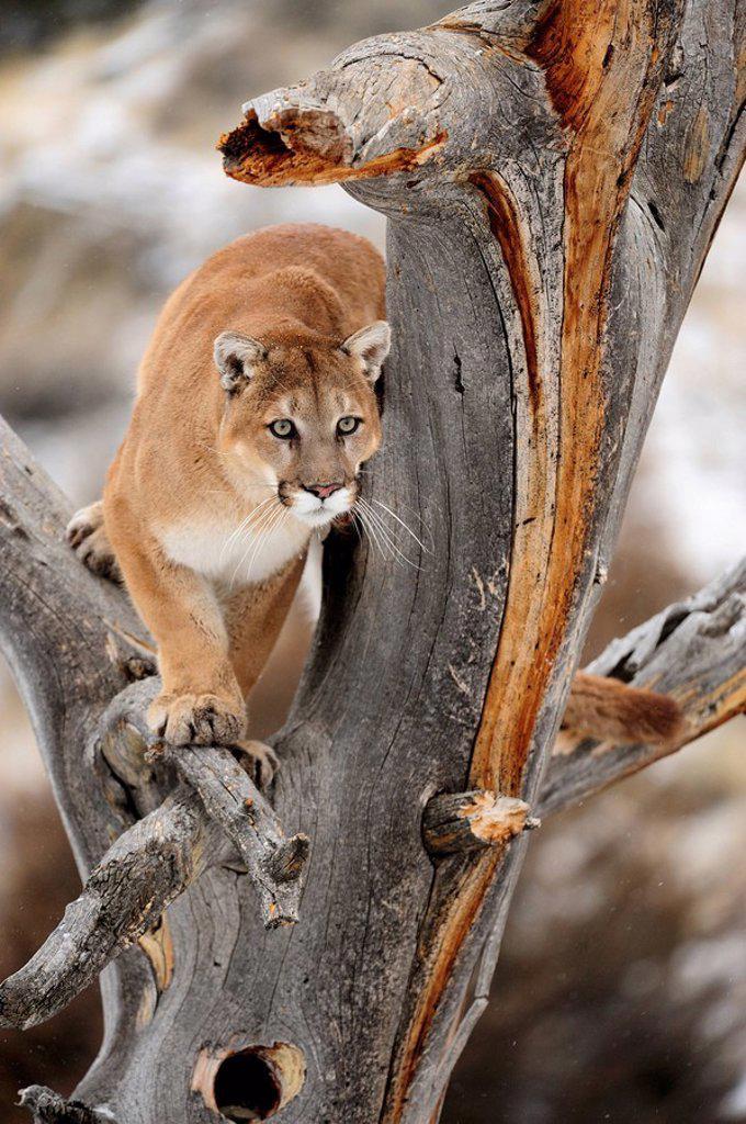 Stock Photo: 1990-19966 Cougar Felis concolor_ captive in winter habitat