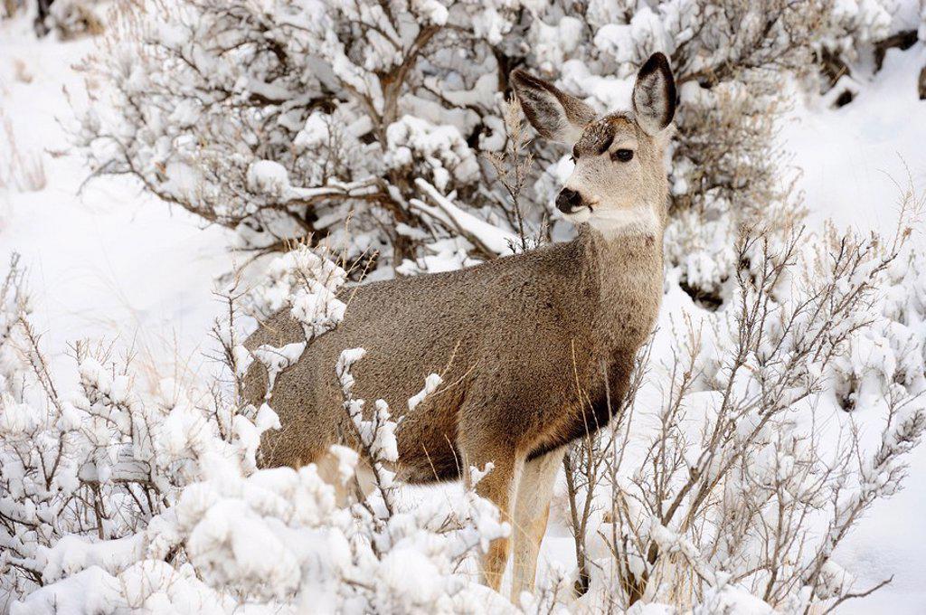 Stock Photo: 1990-19993 Mule deer Odocoileus hemionus in snowy sagebrush landscape