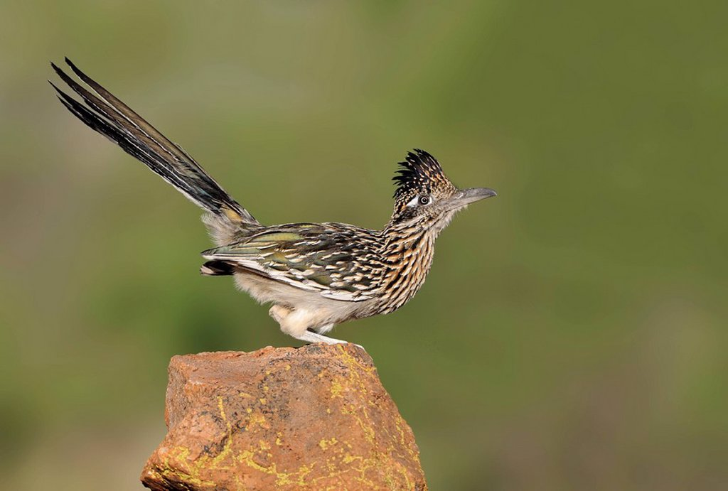 Great Roadrunner Geococcyx californianus perched on rock in Arizona desert, USA : Stock Photo