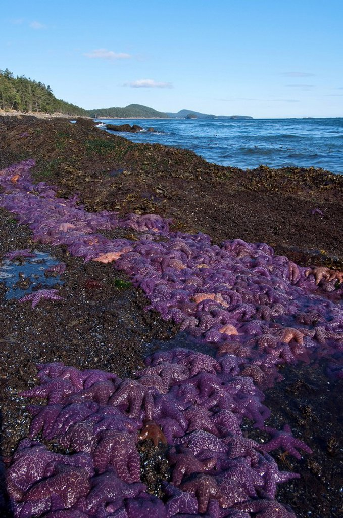 Stock Photo: 1990-20498 Mass of Ochre sea stars on Georgia Strait shoreline, Saturna Island, Gulf Islands, BC, Canada