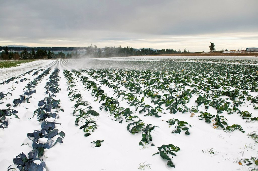 Stock Photo: 1990-20837 Savoy Cabbage buried in snow at a farm in Central Saanich, near Victoria BC.