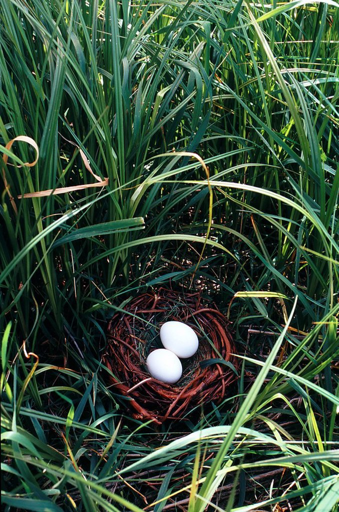Stock Photo: 1990-21518 Two eggs in bird nest on the ground with long grass surrounding.