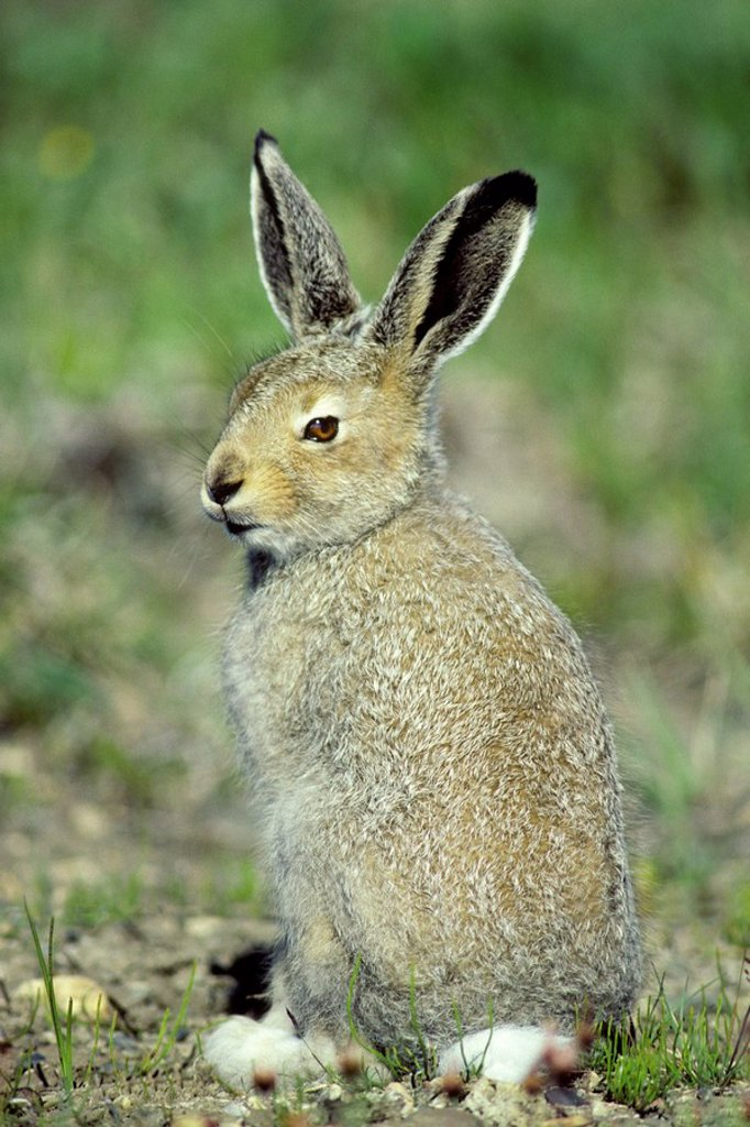 Young arctic hare Lepus articus, Banks Island, NWT, Canada : Stock Photo
