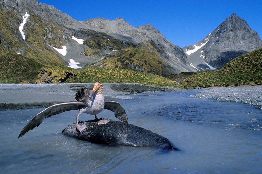 Southern giant petrel s Macronectes gignateus scavenging a dead adult male Antarctic fur seal, South Georgia Island, Antarctica : Stock Photo