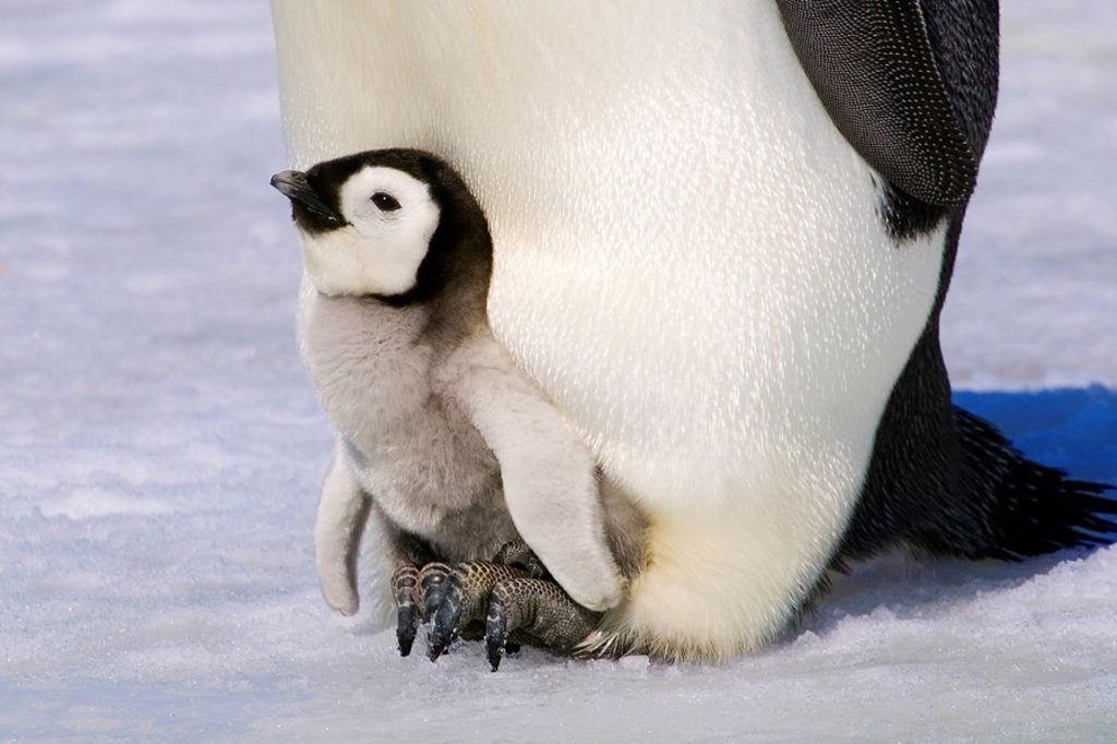 Emperor penguin Aptenodytes forsteri chick resting on its parent´s feet, Snow Hill Island, Antarctic Peninsula : Stock Photo