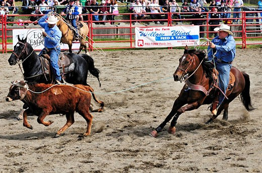 Cowboys calf roping team roping at the Luxton Pro Rodeo in Victoria, BC. : Stock Photo