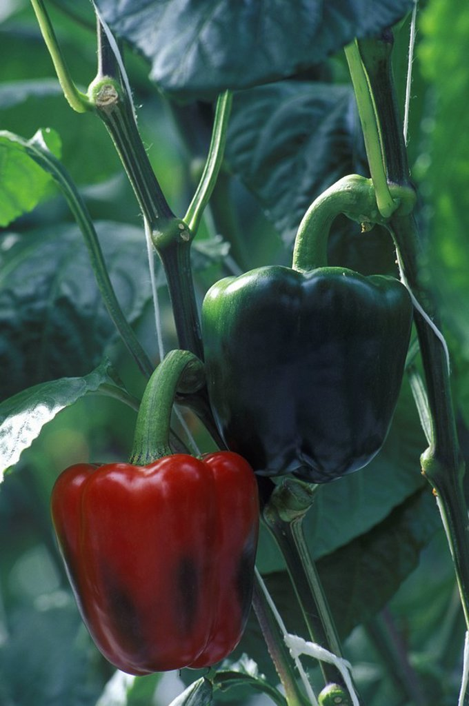 Stock Photo: 1990-22050 Hot House agriculture - Red Peppers, Lower Mainland, British Columbia, Canada