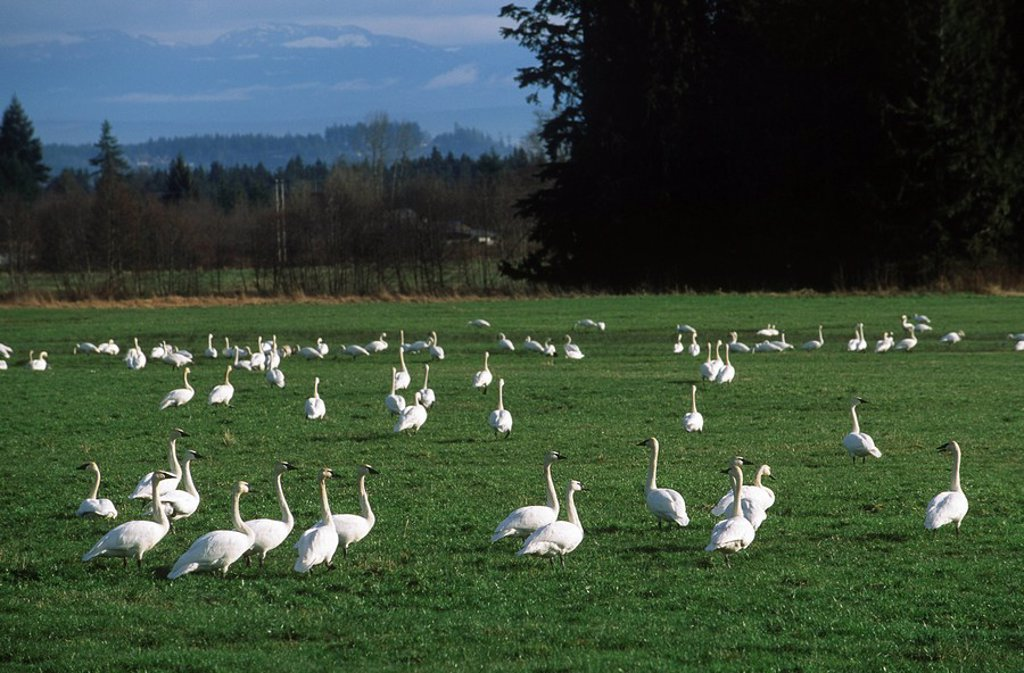 Stock Photo: 1990-22438 Trumpeter Swans Olor buccinator, British Columbia, Canada