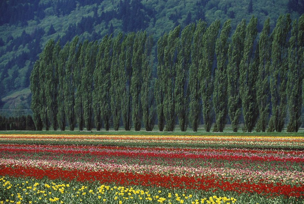 Tulip fields in the Fraser Valley near Chiliwack, British Columbia, Canada : Stock Photo