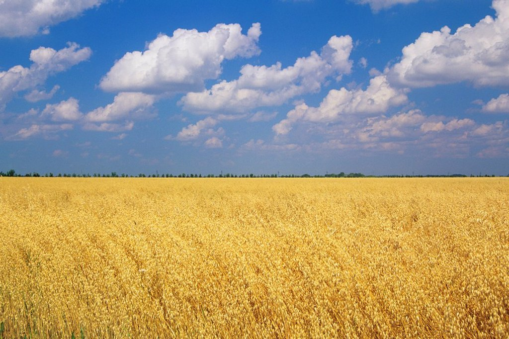 Stock Photo: 1990-2252 A field of Oats, Sanford, Manitoba, Canada