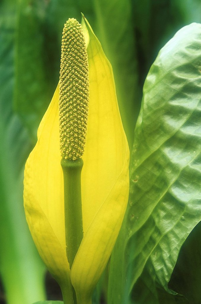 Stock Photo: 1990-22537 Skunk Cabbage in spring  Broad leafed marsh dweller emanates a characteristic skunk smell, British Columbia, Canada