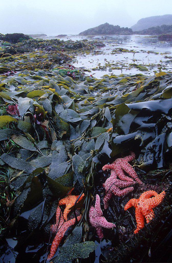 Stock Photo: 1990-22727 MacKenzie Beach at low tide - ochre starfish and kelp, Clayoquot Sound, Vancouver Island, British Columbia, Canada
