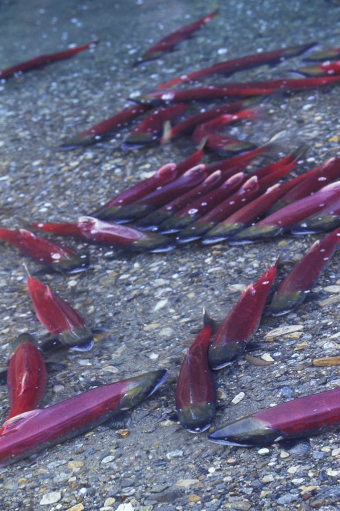 Sockeye salmon, Adams River, Shuswap, British Columbia, Canada : Stock Photo