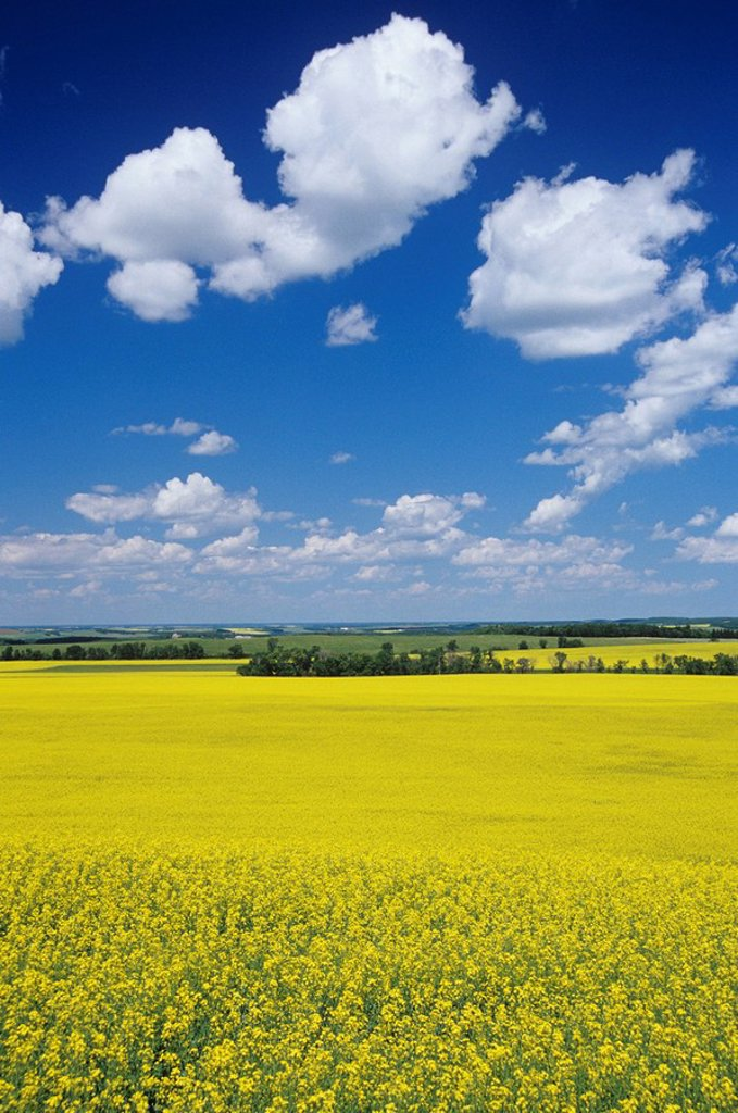 Stock Photo: 1990-2304 Canola, Holland, Manitoba, Canada