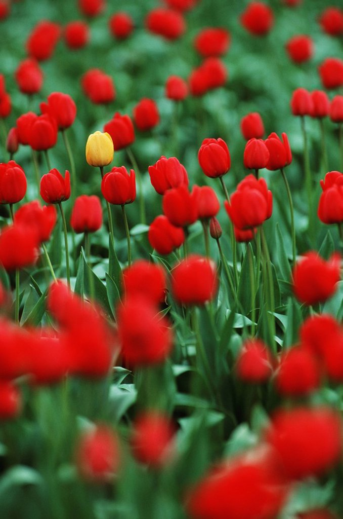 Stock Photo: 1990-23056 Laconner tulip field, yellow tulip in amongst red ones, British Columbia, Canada