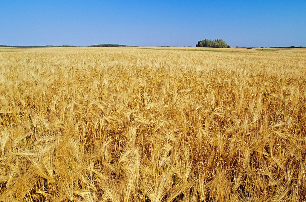 Stock Photo: 1990-2324 Malting-6-Row Barley, Shoal Lake, Manitoba, Canada