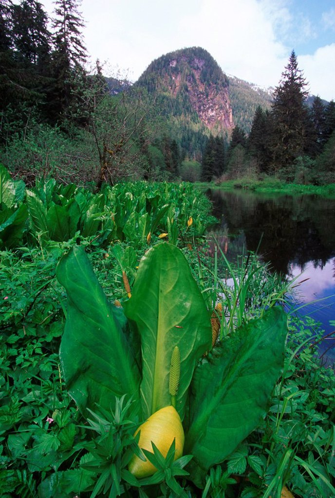 Khutzeymateen Inlet and valley, Skunk Cabbage, British Columbia, Canada : Stock Photo