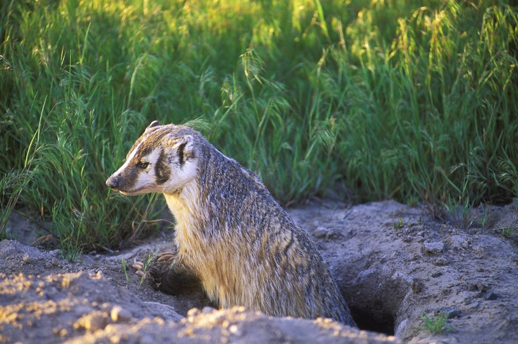 Badger Taxidea taxus, British Columbia, Canada : Stock Photo