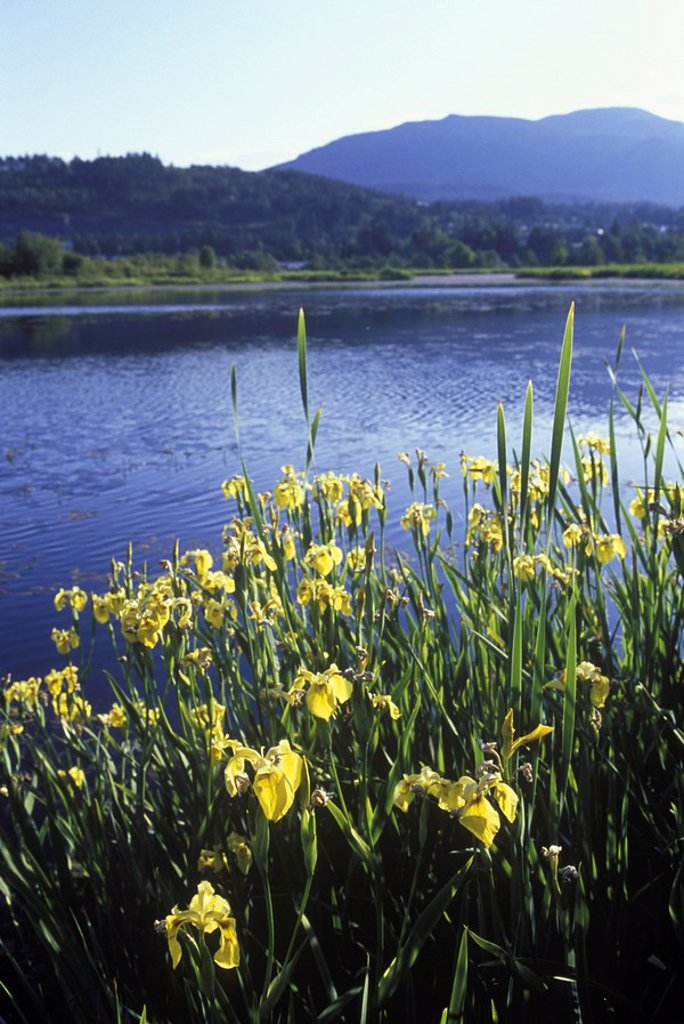 Buttertubs marsh  Yellow Flag Iris, Nanaimo, Vancouver Island, British Columbia, Canada : Stock Photo