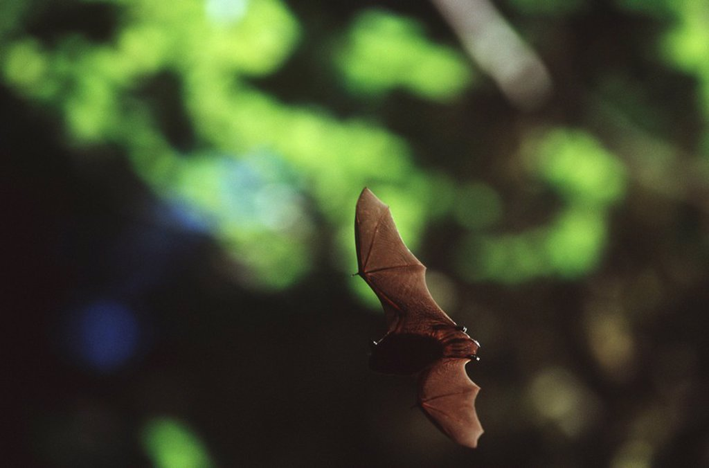 Stock Photo: 1990-23761 Queen Charlotte Islands, bat in flight on South Moresby, British Columbia, Canada