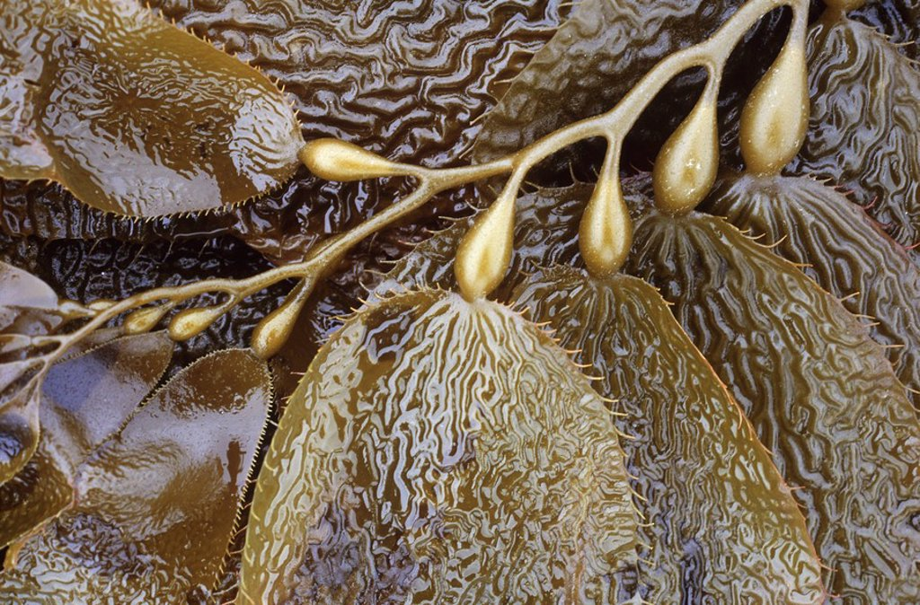 Kelp frond detail, British Columbia, Canada : Stock Photo