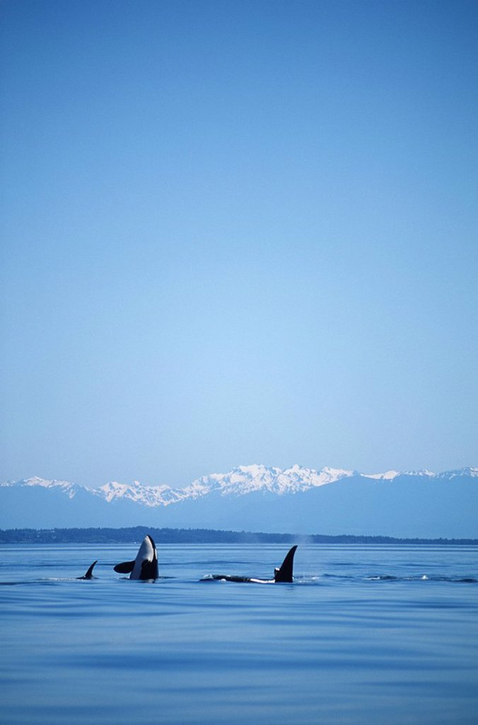 Killer Whales Orcinus orca small pod with Olympic Mountains beyond, Vancouver Island, British Columbia, Canada : Stock Photo