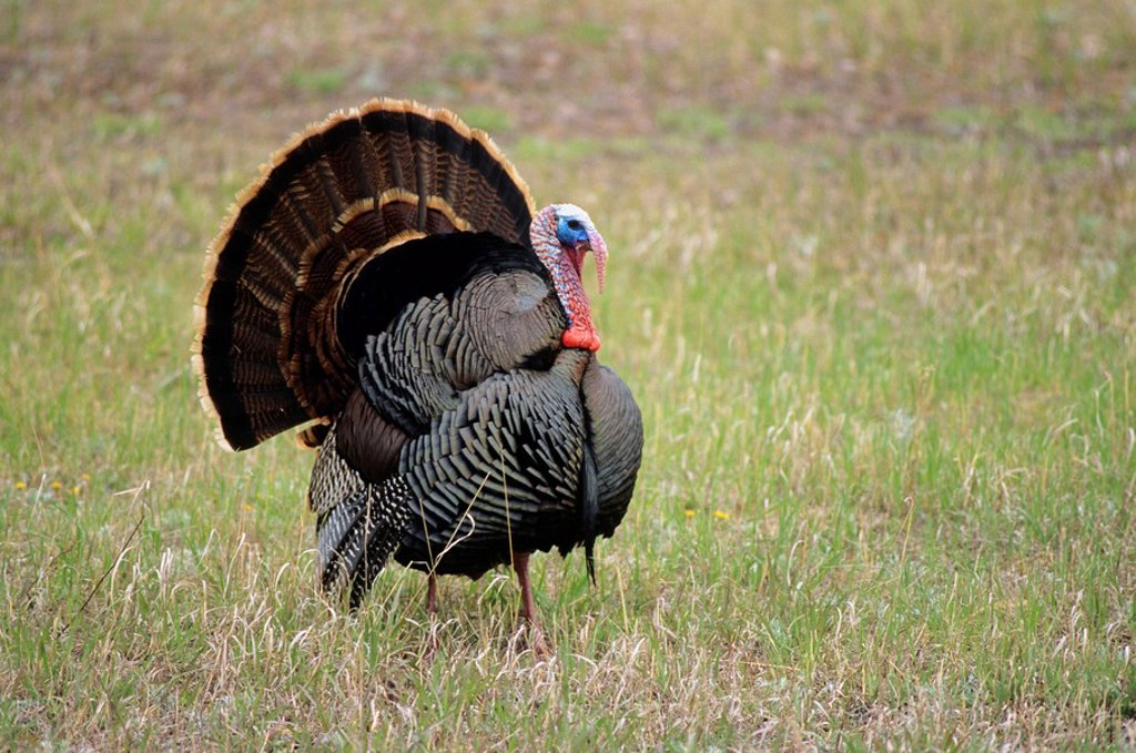 Stock Photo: 1990-2425 Wild turkey, birds hill provincial park, manitoba, Canada