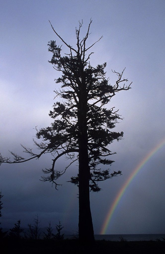 Quadra Island, douglas fir at Rebecca spit with rainbow, British Columbia, Canada : Stock Photo