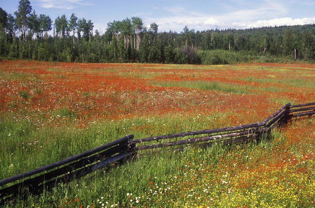 Cariboo landscape, hawk weed field, British Columbia, Canada : Stock Photo