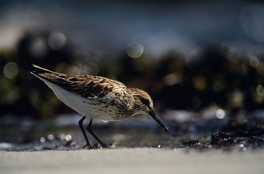 Stock Photo: 1990-25904 Western sandpiper Calidris mauri, British Columbia, Canada