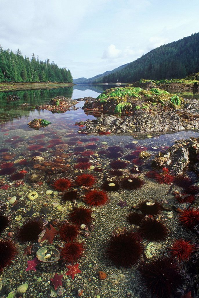 Sea Anemones and Sea Stars at low tide, Dolomite Narrows, Gwaii haanas, British Columbia, Canada : Stock Photo