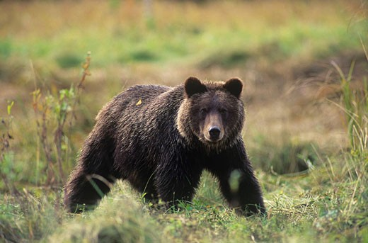 Coastal grizzly bear Ursus arctos horribilis on estuary Ursus arctos horribilis, Great Bear Rainforest, British Columbia, Canada : Stock Photo