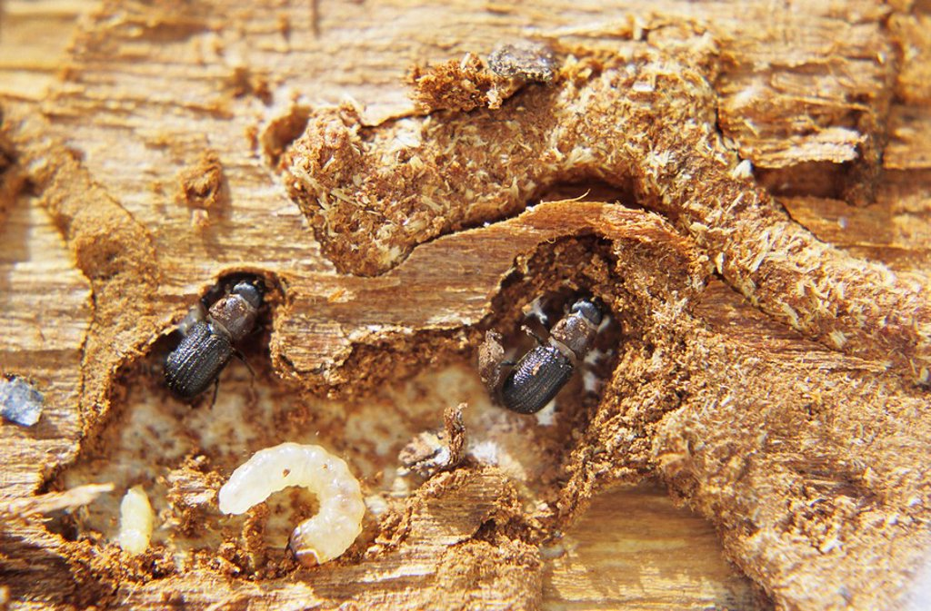 Stock Photo: 1990-26888 Mountain Pine Beetle larvae and adult in galleries under pine tree bark, Smithers, British Columbia, Canada