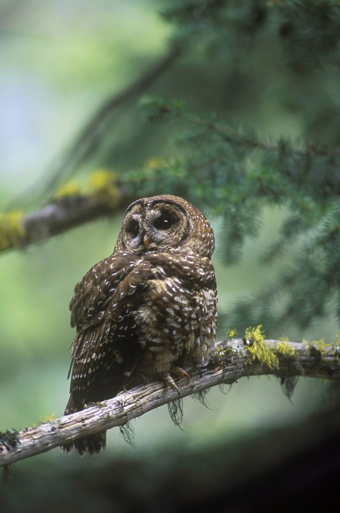 Stock Photo: 1990-26995 The Northern Spotted Owl Strix occidentalis caurina is found in the old growth coniferous forests of southern, British Columbia, Canada