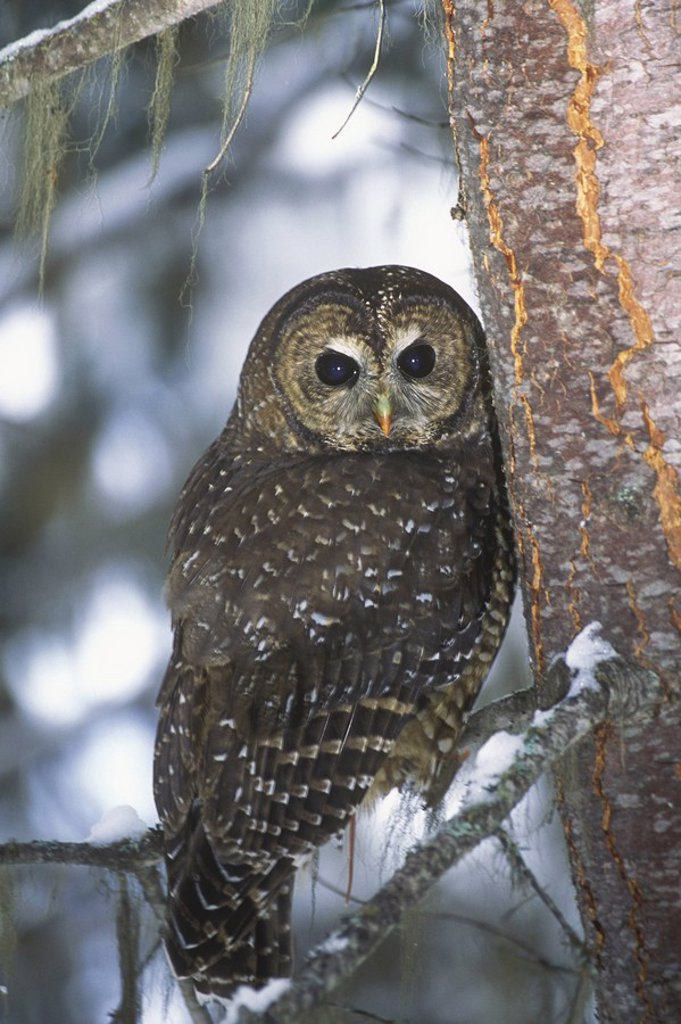 The Northern Spotted Owl Strix occidentalis caurina is found in the old growth coniferous forests of southern, British Columbia, Canada : Stock Photo