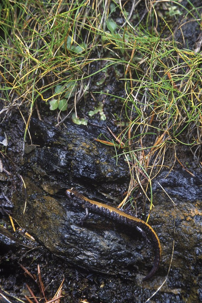 The Couer d'Alene salamander Plethodon idahoensis is found in the Kootenay and Columbia river systems of southeast, British Columbia, Canada : Stock Photo