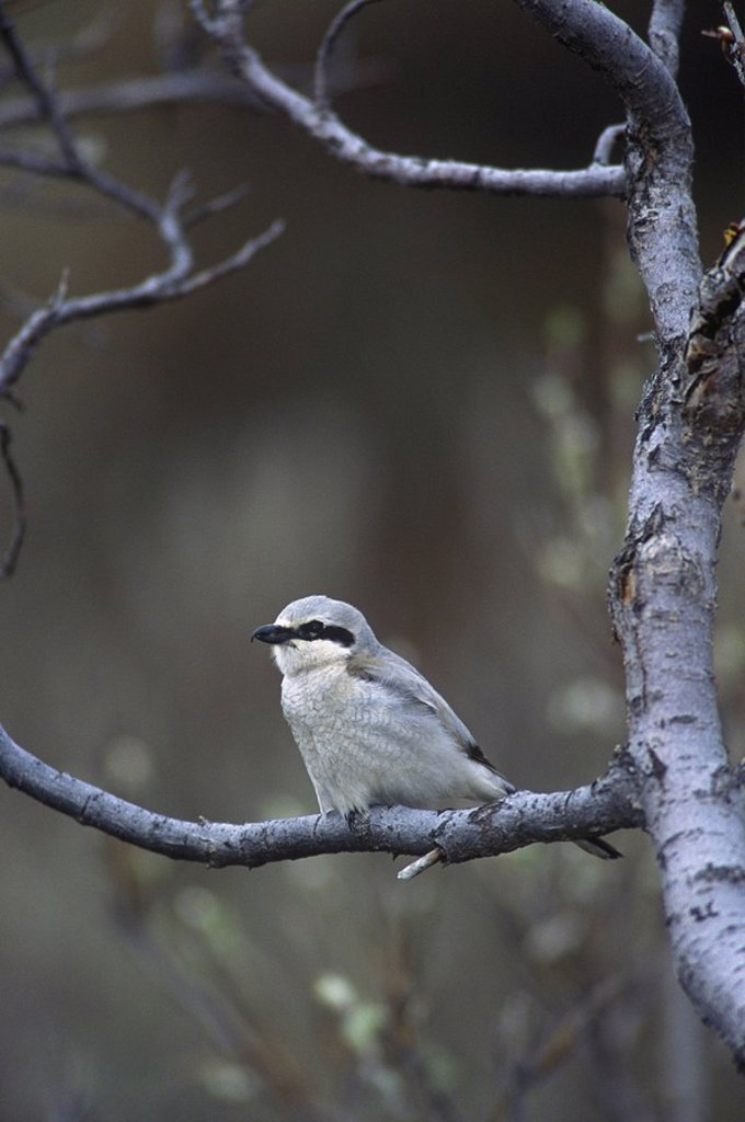 Stock Photo: 1990-27041 The Northern Shrike Lanius excubitor is known for its trait of impaling its prey, such as mice, on thorns, as a form of a larder  This passerine winters throughout BC but breeds only in northern, British Columbia, Canada
