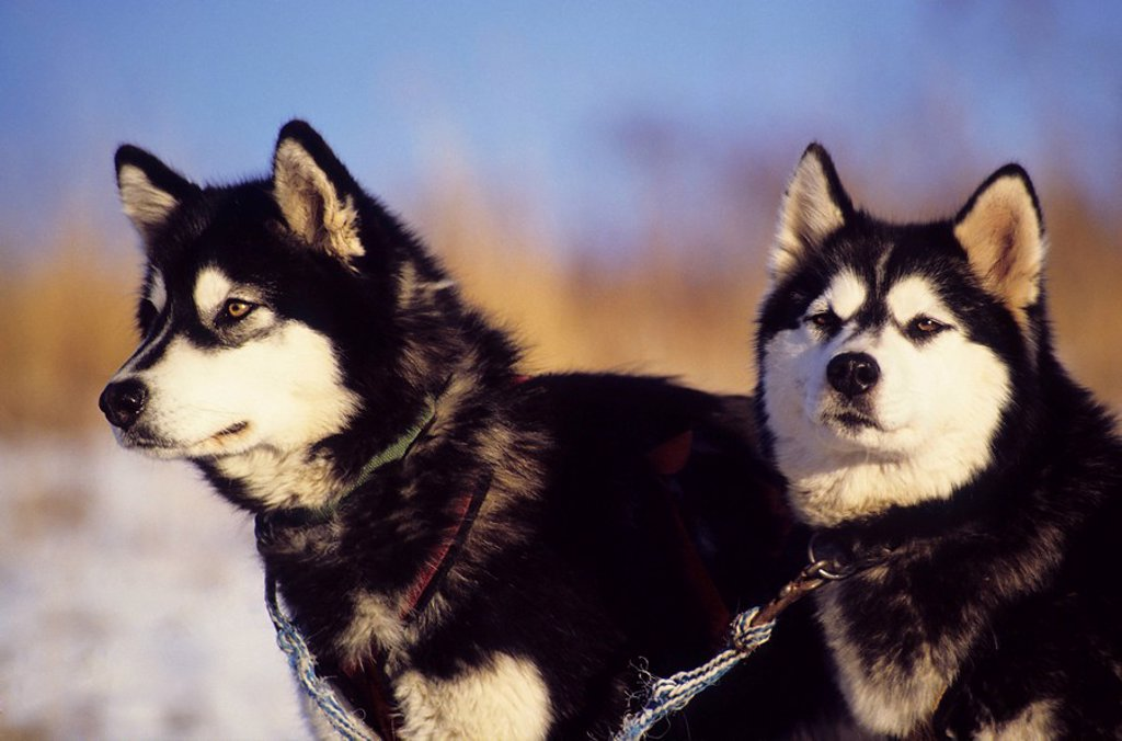 Stock Photo: 1990-27424 Sled dogs, Smithers, British Columbia, Canada