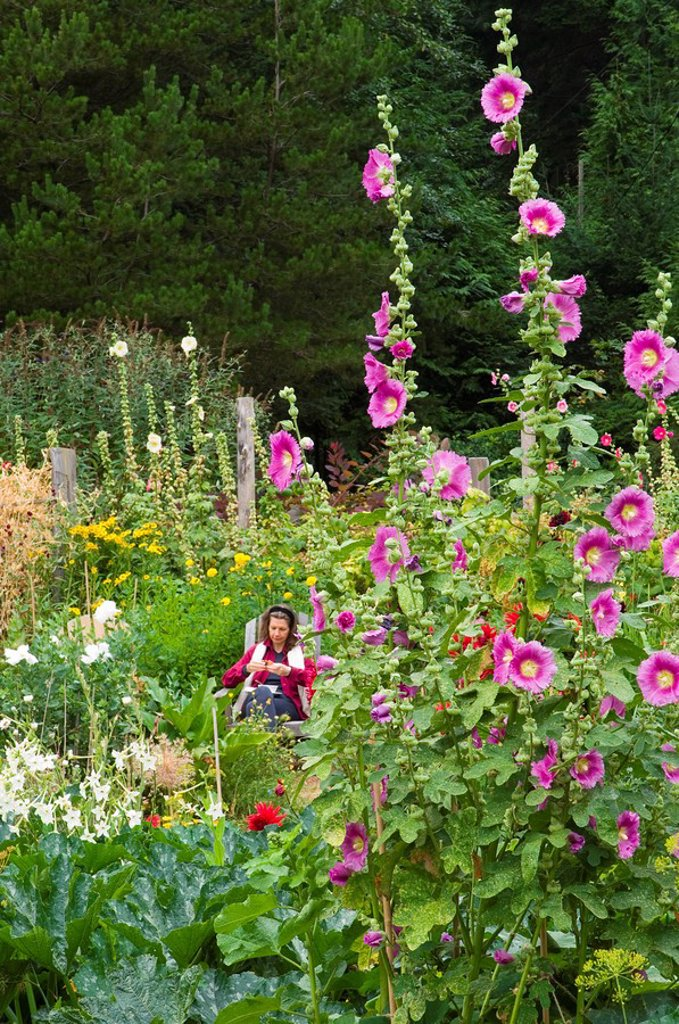 Hollyhock flowers in garden at Hollyhock educational center, Cortes Island, British Columbia, Canada : Stock Photo
